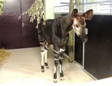 Można już oglądać okapi we wrocławskim zoo. Jedyne takie w Polsce!