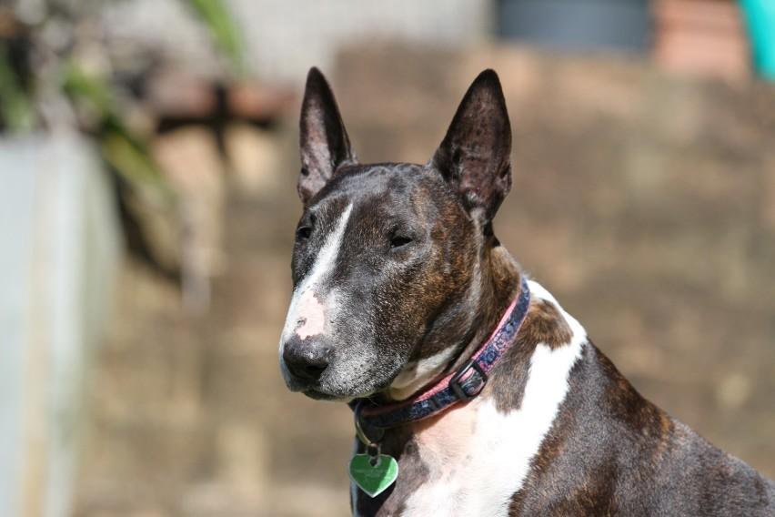 Bull Terier - chociaż ta rasa psów została stworzona do...
