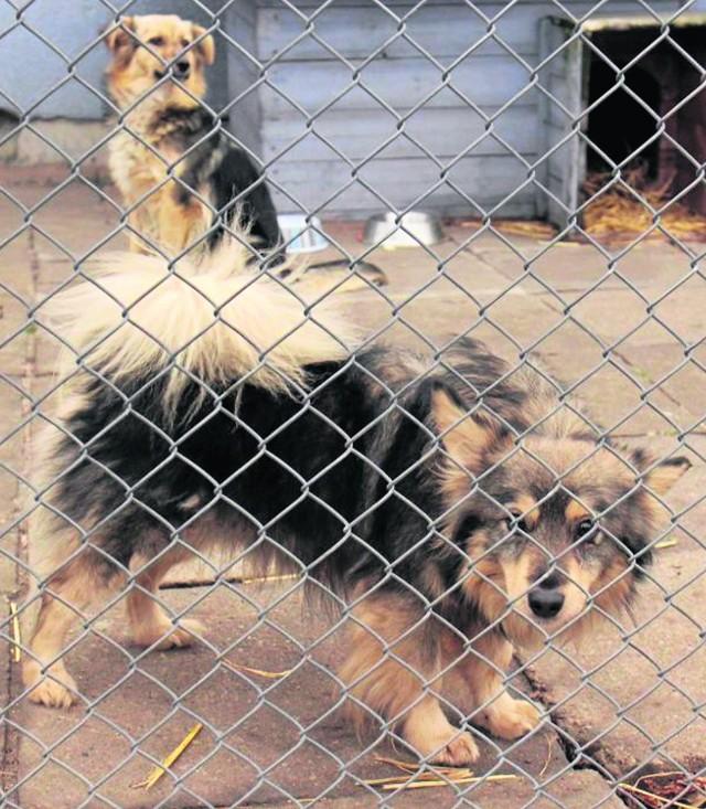 Właściciele psów unikali płacenia podatku, jak tylko mogli. Odprowadzały go w zasadzie jedynie osoby samotne i emeryci