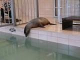 Opolskie zoo ma nową uchatkę kalifornijską