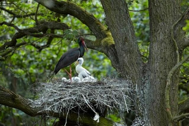 Gniazdo zajmowane jest przez bociany od wielu lat.