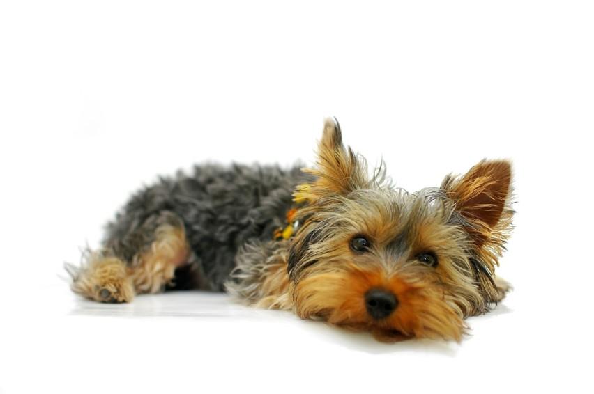 1 lipca przypada Światowy Dzień Psa. Pies to nie tylko...