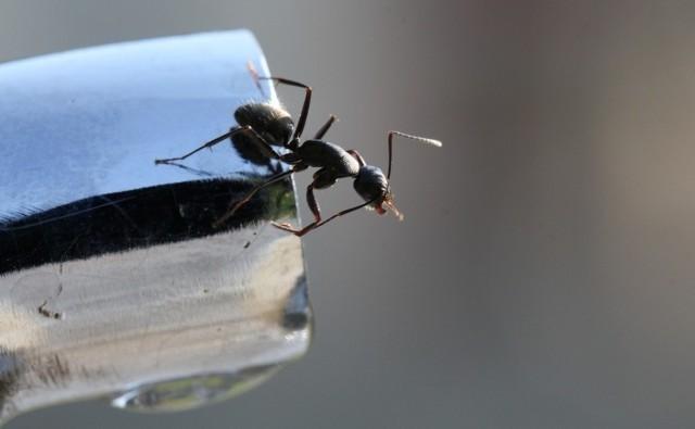 Walka z mrówkami w mieszkaniu jest trudna, jednak nie niemożliwa.