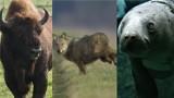 Oko w oko z dzikimi zwierzętami. Niesamowite zdjęcia Czytelników! Zobaczcie wilki, sarny, żubry, łosie w ich naturalnych środowisku