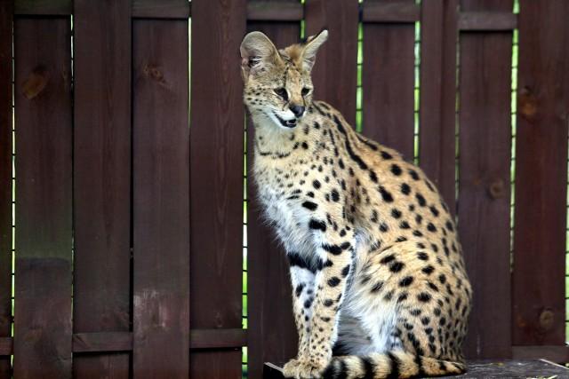 Samica serwala to nowy gatunek, który można zobaczyć w śląskim zoo. Warto podejść też do wybiegu gepardów i zobaczyć, jak urosły dwie młode samiczki. Zobacz kolejne zdjęcia/plansze. Przesuwaj zdjęcia w prawo - naciśnij strzałkę lub przycisk NASTĘPNE
