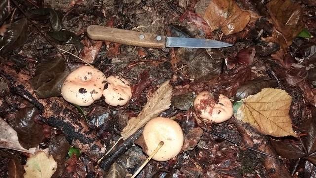 W muszyńskich lasach wysyp rydzów