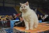 Międzynarodowa Wystawa Kotów Rasowych w hali łódzkiej Anilany. Blisko 400 mruczących piękności, w tym koty z runem jak owieczki
