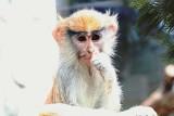 """II TyDzień Misji Ogrodów Zoologicznych i Akwariów - """"Są maluszki, jest nadzieja"""". Ambasadorem akcji w śląskim zoo jest patas Divo"""