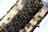 Pasieka Bodaj: Początki nie były łatwe, panią Alicję zaatakowało pięć pszczół