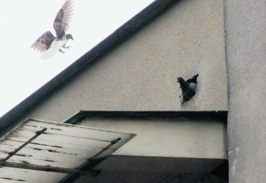 W budynku przy ul. Samsonowicza 51 zagnieździły się gołębie