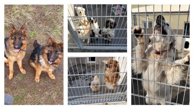 Psy z pseudohodowli w Michalu w powiecie świeckim przebywają od lata 2019 roku w Centrum Opieki nad Zwierzętami w Grudziądzu, gdzie znalazły należytą opiekę, troskę i bezpieczne schronienie. Dopóki nie zapadnie prawomocny wyrok, nie mogą pójść do adopcji