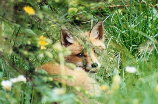 W pobliżu Uroczyska Lublinek w Łodzi zaginął pies specjalizujący się w polowaniach na lisy.