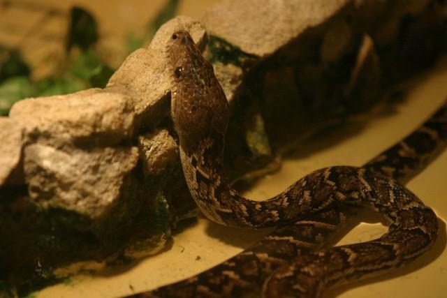 Najbezpieczniej jest spotkać jadowitego węża jedynie w zoo