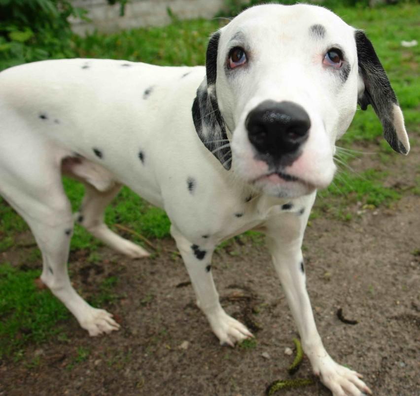 Dalmatyńczyk przebywa teraz pod opieką Pogotowia dla Zwierząt. Jego los należy do sądu