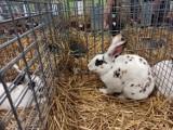 Konin 2021. Wystawa najpiękniejszych rasowych królików w Polsce