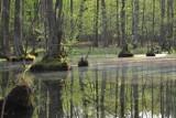 Dziś Światowy Dzień Mokradeł. Niezwykłe zdjęcia śródleśnych bagien pod Łobżenicą [ZDJĘCIA]