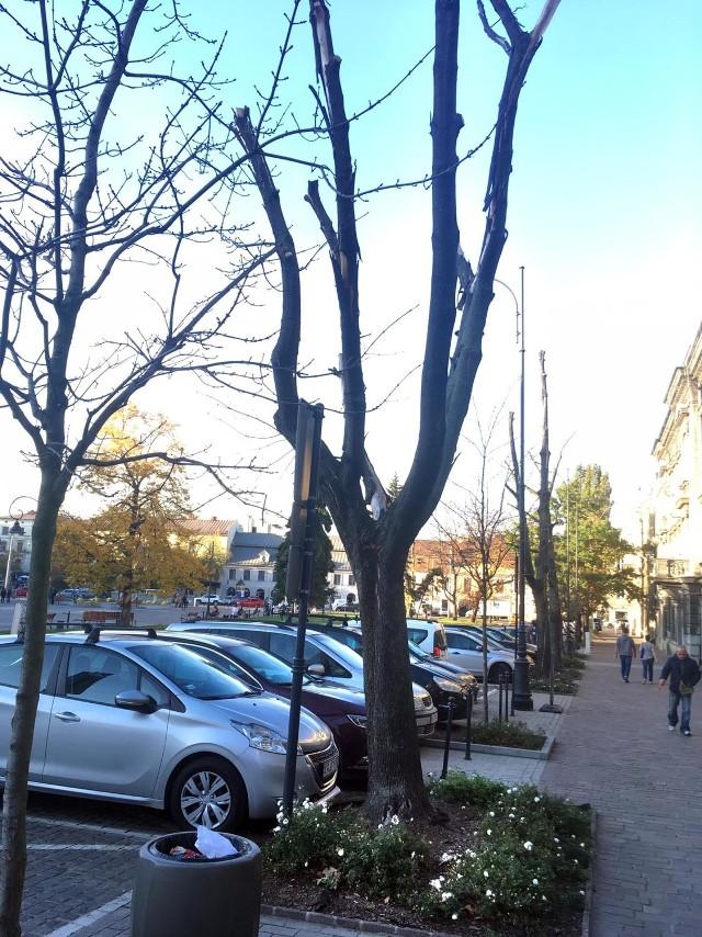Uschnięte drzewa na Rynku Podgórskim