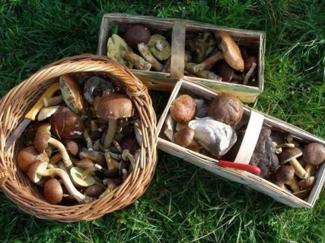 Grzyby jadalne, grzyby trujące. Jak rozpoznać grzyby, które zbieramy. Które grzyby są trujące?
