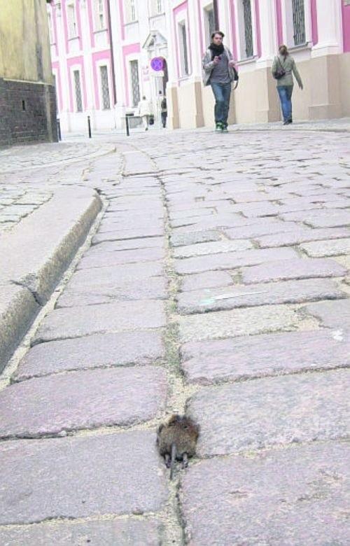 Martwy szczur leżał na ulicy tuż obok poznańskiej fary