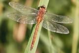 Ważka: to najlepszy lotnik wśród owadów. Potrafi latać we wszystkich kierunkach [Zdjęcia]