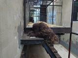 Zdolna małpa z zoo w Gdańsku. Orangutanica Raja rysuje jak 3-latek! ZDJĘCIA