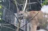 Puma Nubia kończy kwarantannę w chorzowskim zoo. Co dalej?