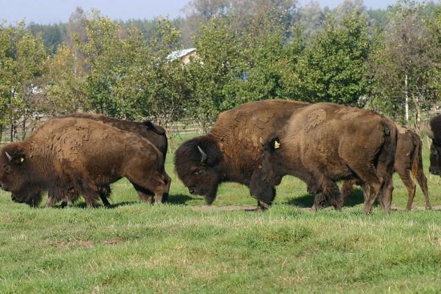 W gospodarstwie pod Zielnowem  padły m.in. dwa bizony.