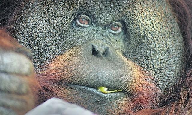 Tumku, jedyny orangutan z naszego ogrodu, skończył w czerwcu 39 lat