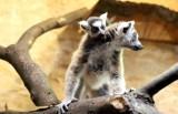 W krakowskim zoo mamy nowego, malutkiego lemura
