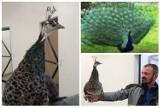 W muszyńskich ogrodach przybywa ptasich lokatorów. W wolierach pojawiłsię paw [ZDJĘCIA]
