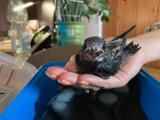 Do głogowskiego ratusza przyniesiono cztery podloty - dwie jaskółki i dwa jerzyki