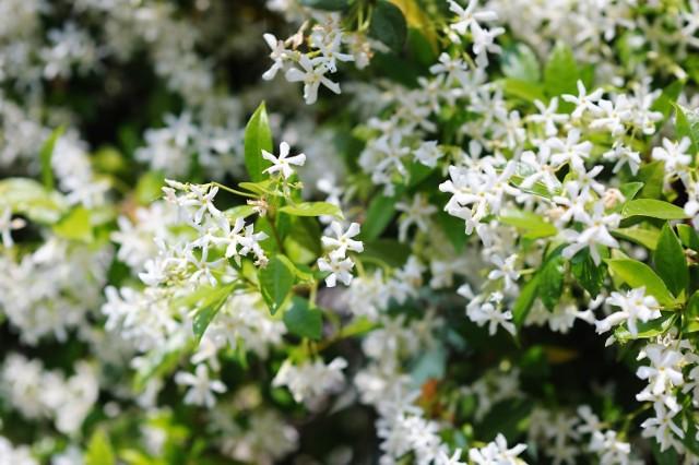 Zapach jaśminu działa antydepresyjnie