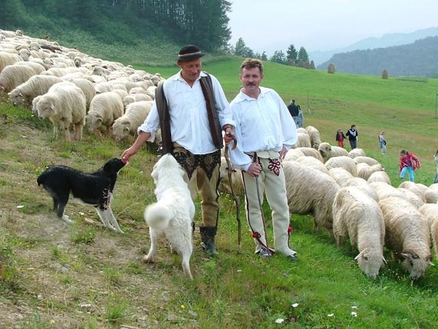 W tym roku na podhalańskich halach będzie się wypasać 30 tysięcy owiec