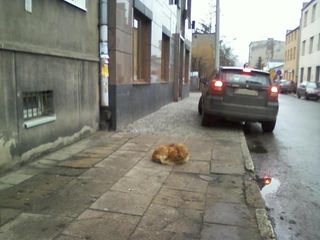 Piesek często leży przed przychodnią na ul. Ciesielskiej