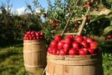 Owocobranie w Sadach Żoliborskich. Mieszkańcy wspólnie wyzbierali jabłka, mimo zastrzeżeń urzędników