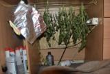 Bochnia. Plantacja konopi indyjskich w mieście, policja zatrzymała 30-letniego dilera narkotyków [ZDJĘCIA]
