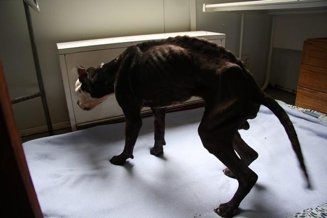 Mieszaniec pitbulla nie ma siły poruszać się o własnych siłach.