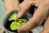 Najdroższe rośliny do kupienia w internecie. Nawet kilka tysięcy złotych za sadzonkę - ceny mogą zaskoczyć