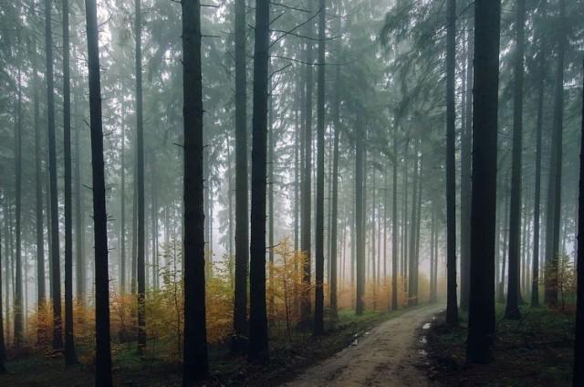 Lasy na terenie Stalowej Woli zajmują 60 procent powierzchni, to głównie sosna