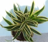 Rośliny, które pomagają w walce ze stresem. Wystarczy postawić je w mieszkaniu [ZDJĘCIA]