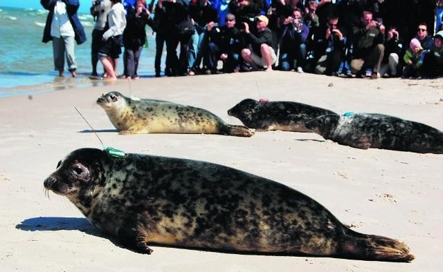 Foki szare to gatunek chroniony. Celem akcji jest zwiększenie ich populacji w Bałtyku