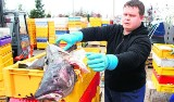 Pomorze: Dorsze z zagranicy w portach nad Bałtykiem