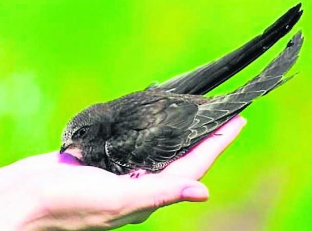 Jerzyki to bardzo pożyteczne ptaki. Na szczęście kolejny rok z rzędu pojawiły się na Karwinach