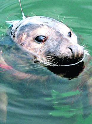 Klif, poszukiwana foka, potrzebuje szybkiej pomocy