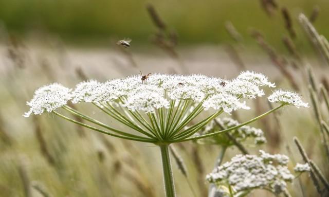 Barszcz Sosnowskiego to bardzo niebezpieczna roślina. Absolutnie nie wolno jej dotykać, ani nawet zbliżać się do niej, bo parzy również na odległość.