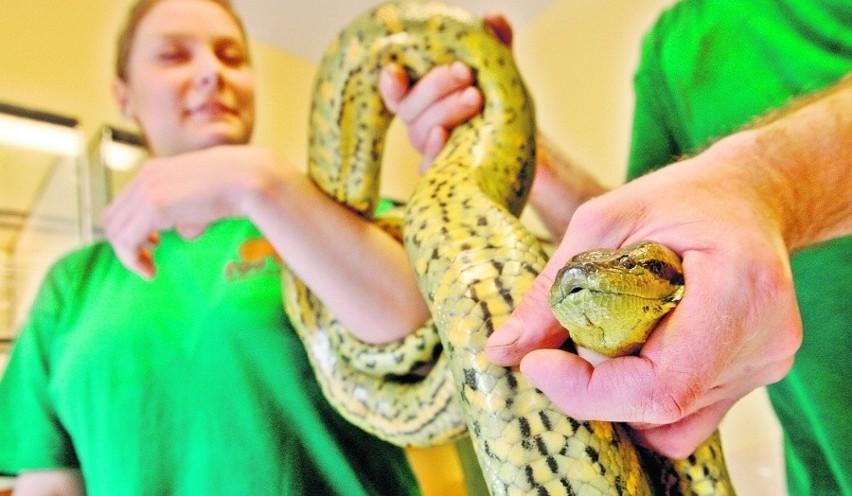 Zdrowa anakonda umie zacisnąć się na przegubie tak, że dłoń...