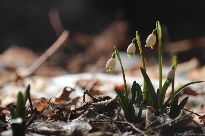 Karol Cichoński utrwałił kwitnącą w tym roku śnieżycę