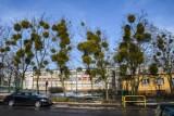 W Bydgoszczy wkrótce rozpoczną się prace nad usuwaniem jemioły. Półpasożyt atakuje drzewa na osiedlach