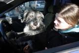 Jak prawidłowo przewozić zwierzęta w samochodzie