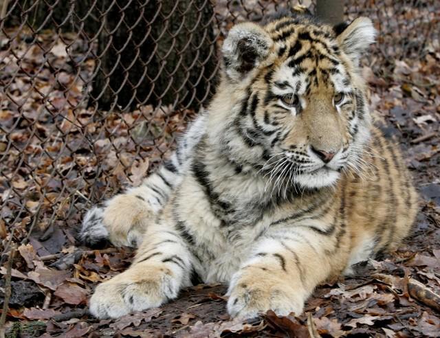 Tygrysy syberyjskie lubią śnieg, ale lekka zima ich nie martwi